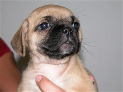 maltese pug mix for sale pomeranian pug mix puppies for sale breeds picture