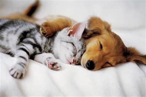 puppy and kitten cuddling kittens and puppies cuddling