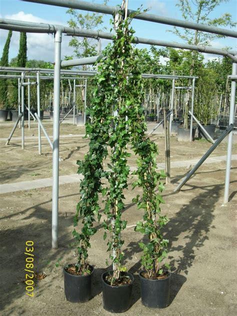 kletterpflanzen immergrün winterhart kletterpflanzen efeu baumschule pflanzen gro 223 e pflanzen