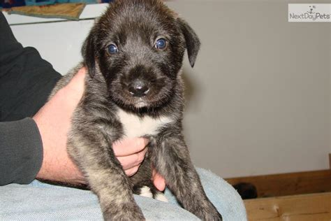 wolfhound mix puppies for sale mastiff puppies for sale adoption from toronto ontario breeds picture