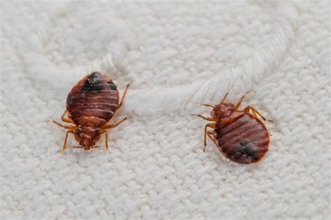 bed bug finder 11 best images about bed bugs treatment on pinterest