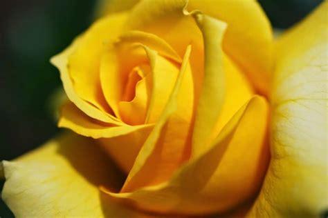 imagenes rojas y amarillas image gallery imagenes rosas amarillas