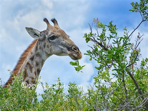 the giraffe that ate trees giraffes eat giraffe eating leaves stuff to try giraffe and animal