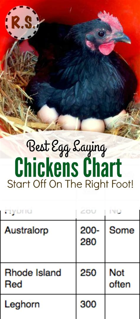 how to raise laying hens in your backyard how to raise laying hens in your backyard image gallery