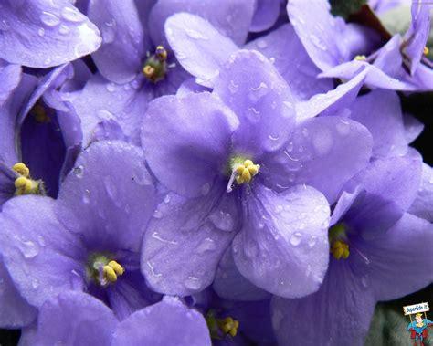le violette fiori wallpaper violette 29 wallpaper in alta definizione hd