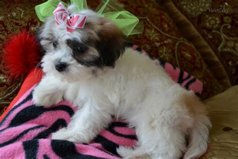 malshi puppies for sale near me mal shi malshi puppy for sale near dallas fort worth f0877bed 8711