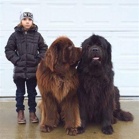 best big dogs best 20 big dogs ideas on