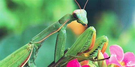 praying mantis change color praying mantis facts 15 things you didn t part 2