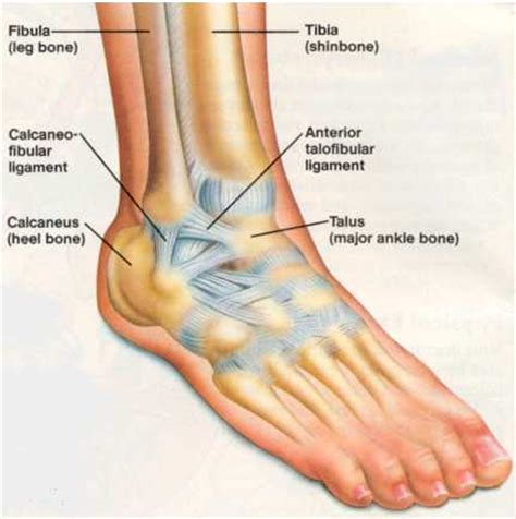 Interior Ankle Sprain by Human Words And Definition Thinglink