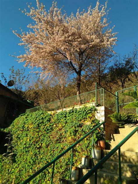 6 cherry tree road winter cherry tree mukteshwar