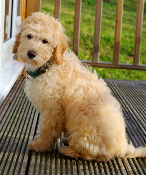 australian labradoodle puppies for sale tora labradoodles