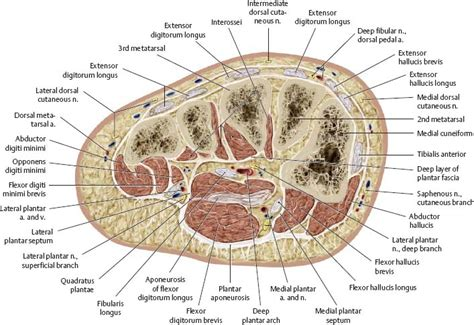 cross section of leg neurovasculature atlas of anatomy