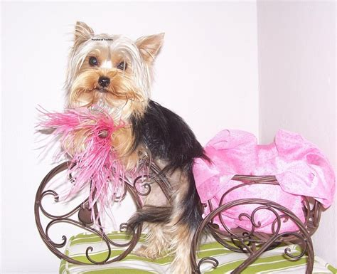 yorkie exercise 358 best images about yorkies make me so happy on