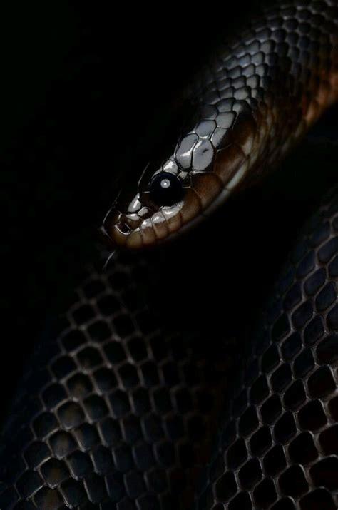 black king wallpaper black king snake wallpaper www pixshark com images
