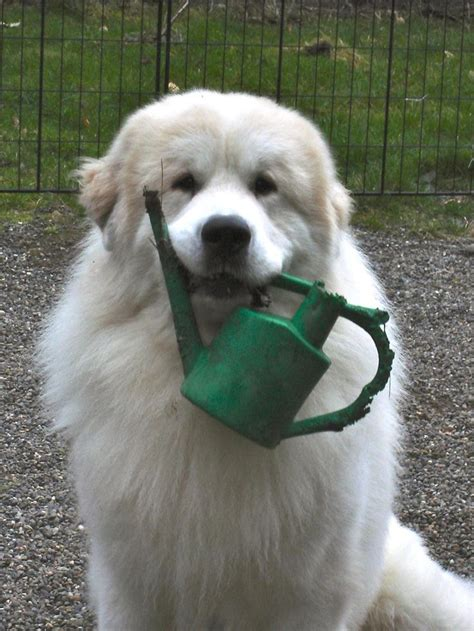 great pyrenees dog house 1000 images about great pyrenees on pinterest pyrenees