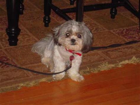shih tzu poodle mix for sale in illinois shih tzu poodle mix puppies for sale nc