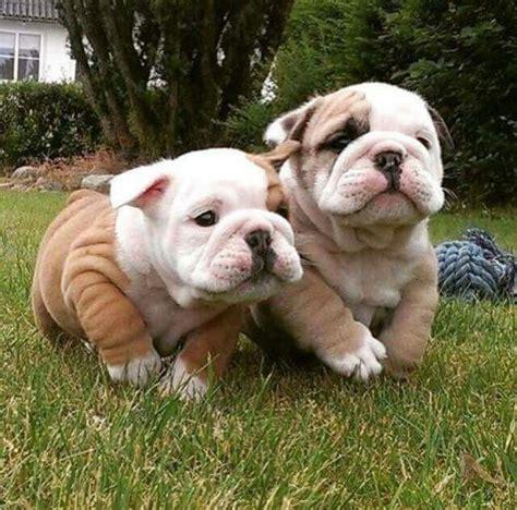 baby bulldog puppies best 25 bulldog puppies ideas on bull bulldog puppies and
