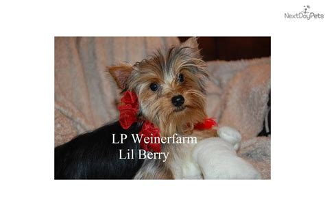 yorkie puppies for sale in evansville indiana terrier yorkie for sale for 800 near evansville indiana fb245c88 0781