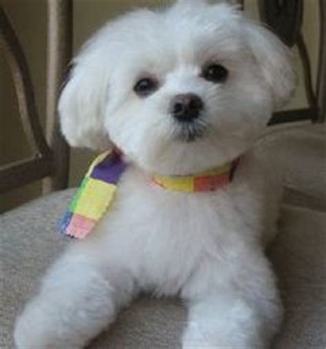 what is the best cut for a malti poo maltipoo haircuts purchasing from backyard breeders pet