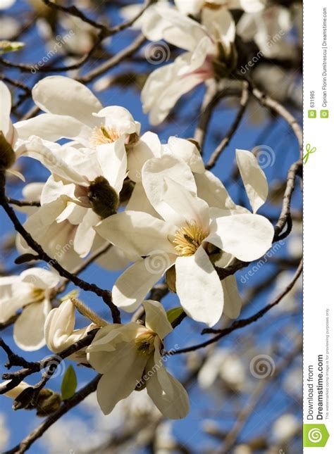 a z of flower portraits 1844484521 two magnolia flowers portrait stock image image 631985