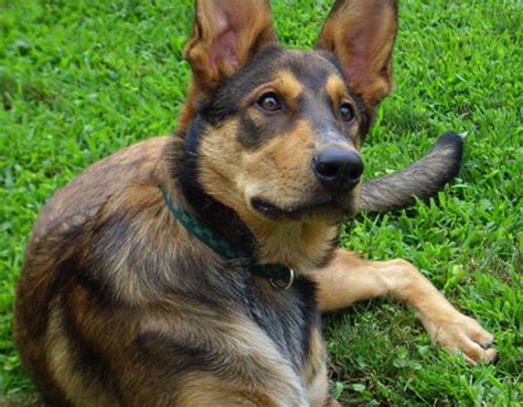 german shepherd australian cattle mix big german shepherds german shepherd australian cattle mix