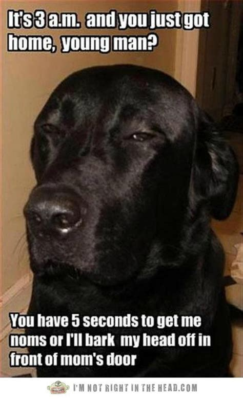 Black Lab Meme - black lab blackmail tattoo ideas pinterest