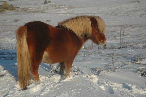 Armchair Travel The Shetland Pony Shetland Visitor