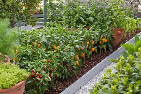 growing vegetables in backyard growing peppers corn vegetables in backyard plant flower stock photography