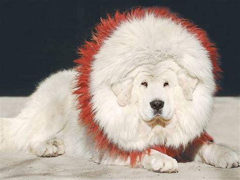 white tibetan mastiff puppies for sale white tibetan mastiff pictures breed looks like drakyi tibetan