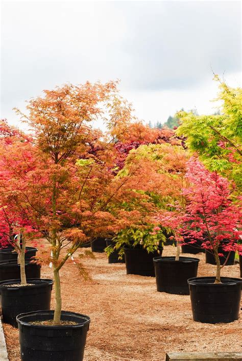 best maple tree varieties japanese maples so many awesome colorful varieties to choose from japanese maple maple tree