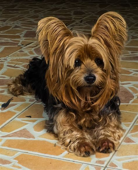 personality of yorkies characteristics and special needs of the terrier walker