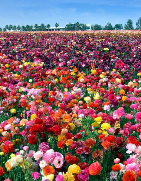 Teh 63 Teh Mawar 8 places to see america s most beautiful flowers