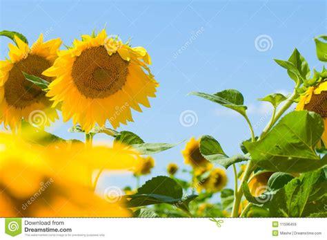 imagenes girasoles hermosos girasoles hermosos con el cielo azul