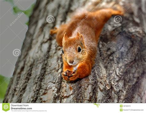squirrel hung by nuts squirrel hanging on a tree stock photo image of 32162070