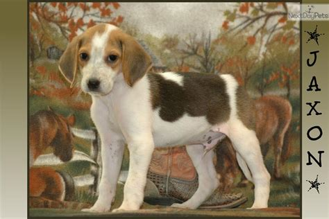 foxhound puppies for sale american foxhound dogs puppies for sale breeds picture