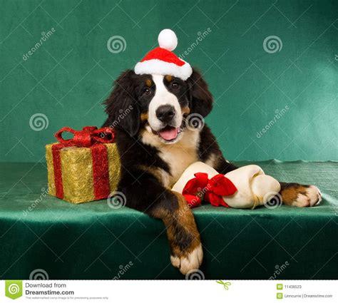 Cane Di Montagna Di Bernese Con I Regali Di Natale ...