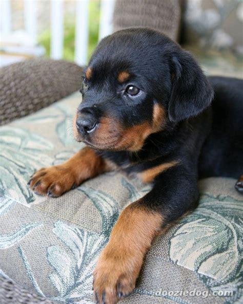 rottweiler puppy pics rottweiler puppy 3 jpg