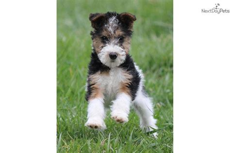 fox terrier puppies for sale fox terrier puppies for sale fox terrier breeders design bild