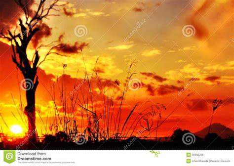 love the richness of burnt orange burnt sunrises silhouette long tall grass gum tree sunset stock photo