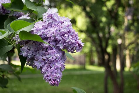 can lilacs grow in zone 9 choosing zone 9 lilac varieties