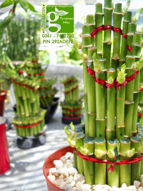 Tanaman Bambu Rejeki putra garden distributor tanaman bambu rejeki lucky