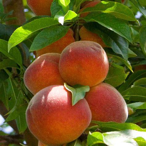 buy fruit tree peregrine buy tree trees for sale