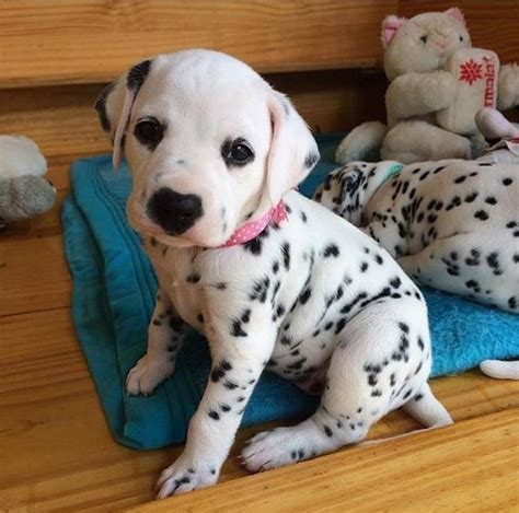 how much are dalmatian puppies best 25 dalmatian puppies ideas on puppies dalmatian and adorable puppies
