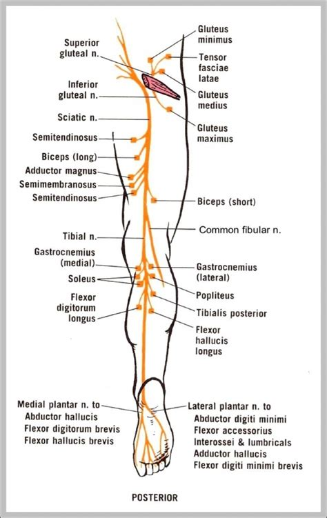 sciatic nerve diagram sciatic nerve anatomy diagram human anatomy diagram