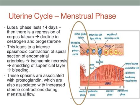 How Does A Period Last After Ac Section by Menstrual Cycle