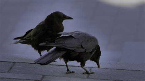 crows eating by soupertrooper on deviantart