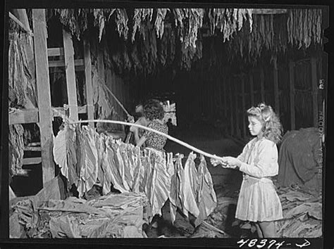 file great depression young stringing tobacco jpg