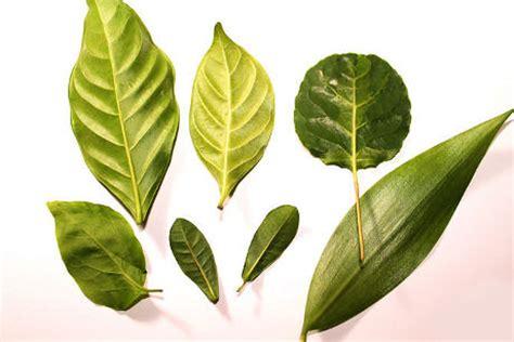 Aplikasi Daun Kering Pressed Leaf yuk melukis dengan media daun kerajinan carapedia