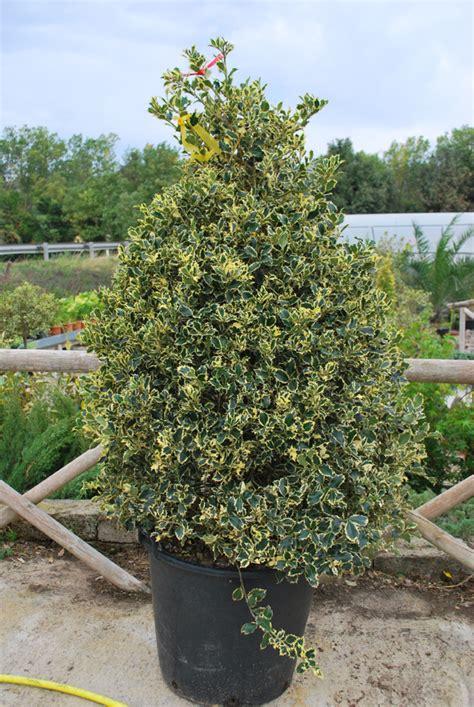 agrifoglio in vaso piante ornamentali agrifoglio piramide h 1 20 ilex