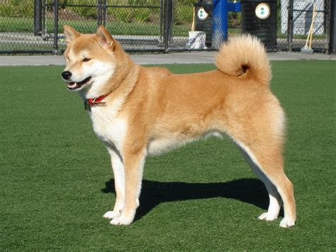 japanese breed dogs top 10 cutest japanese breeds